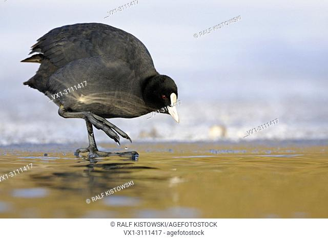Black Coot / Coot / Eurasian Coot / Blässralle (Fulica atra) stands in perfect light on ice edge carefully checking the water temperature