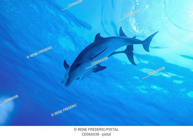 Spotted Dolphins (Stenella plagiodon). Bahamas