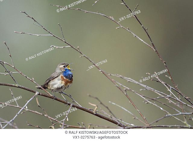 Bluethroat ( Luscinia svecica ) singing its song sitting in branches of a birch bush, wide open beak, clean background.