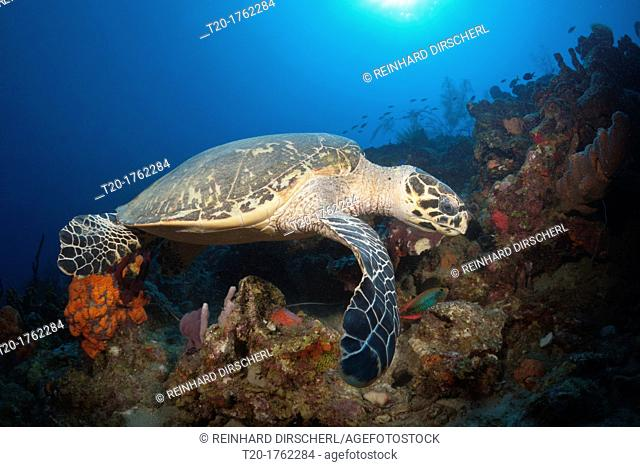 Hawksbill Turtle, Eretmochelys imbriocota, Caribbean Sea, Dominica