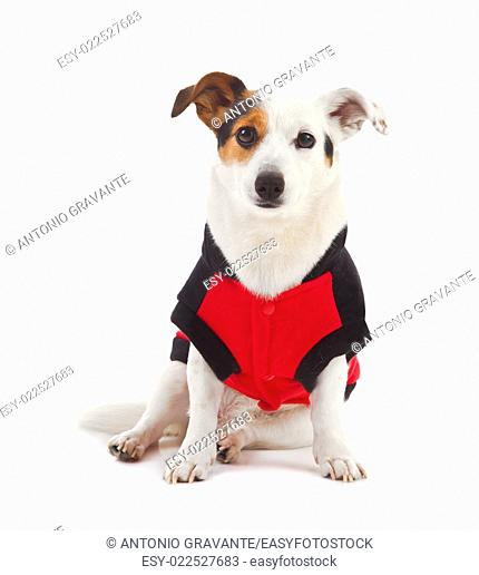 Jack Russell dressed up as a ladybug on white background