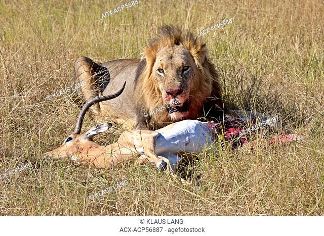 Male Lion with Kill, Moremi National Park, Botswana, Africa