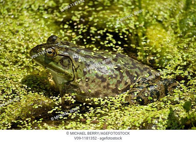 Bullfrog (Rana catesbeiana). Oregon, USA