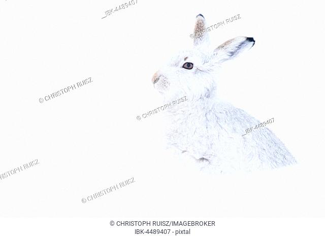 Mountain hare (Lepus timidus) sitting in snow, winter coat, Cairngroms National Park, Scottish Highlands, Scotland, United Kingdom