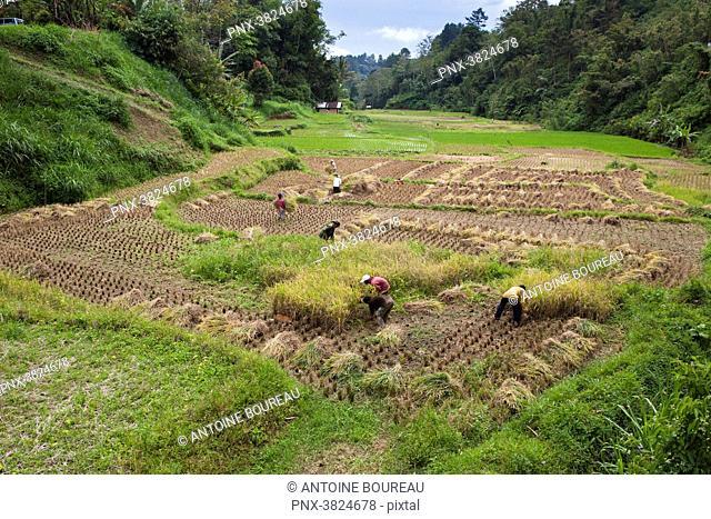 Harvesting of rice near Bukittinggi and manual separation of rice grains and ergots empty, Bukittinggi, Sumatra, Indonesia