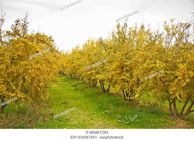 The yellow pomegranate orchard at clody day during the fall