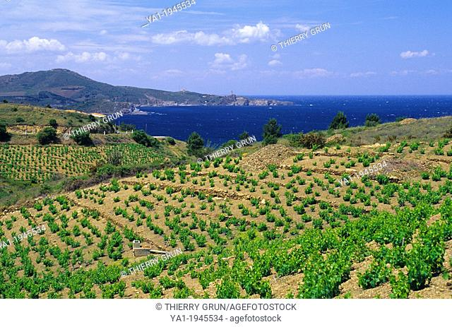 Vineyards of Banyuls sur mer, back cap bear, Cote Vermeille, Eastern Pyrenees, Languedoc-Roussillon, France