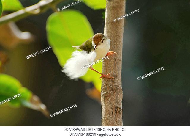 tailorbird Shrirampur Ahmednagar Maharashtra India Asia