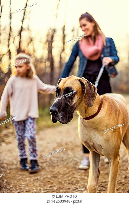 A young mom and her daughter walking their Great Dane in a park on a warm autumn evening; Edmonton, Alberta, Canada