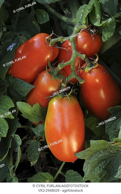 Italian canning tomatoes, roma. Ripe on tomato plant