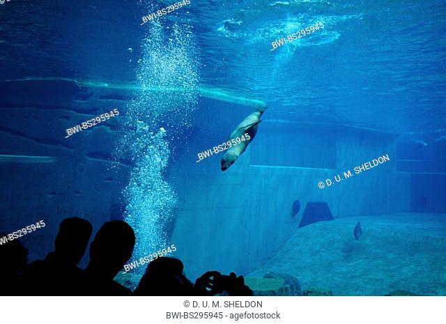 Californian sea lion (Zalophus californianus), submerging
