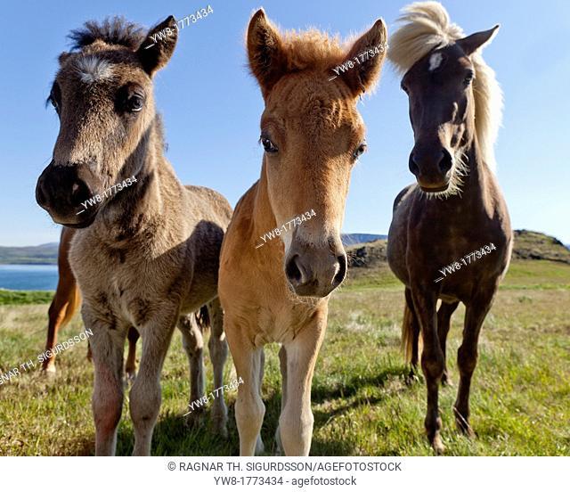 Mare and foals, Icelandic purebred horses, Hvalfjordur, Iceland