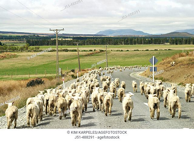 New Zealand. South Island. Flock of sheep being moved between pastures, walk down asphalt road, view from rear of flock, curve in rural road