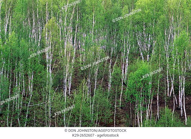 Aspens and birches on hillside in spring, Geater Sudbury, Ontario, Canada