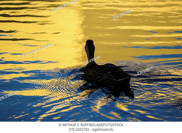 Duck floating in sunset lit lake