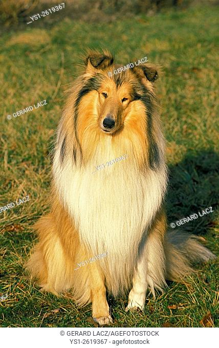 Collie Dog sitting on Grass