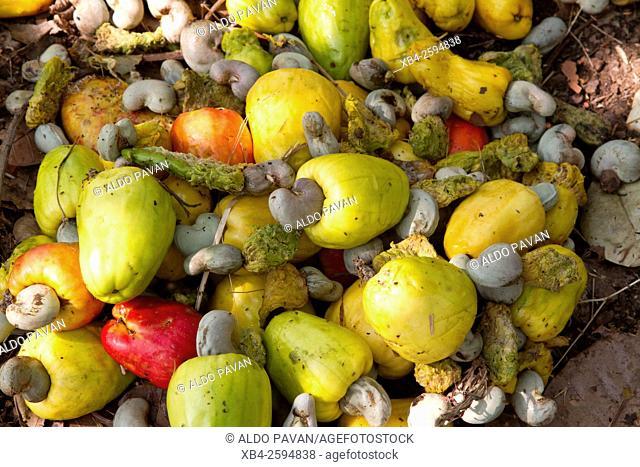 Cashews, Kannur, Kerala, India
