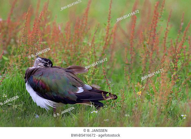 northern lapwing (Vanellus vanellus), resting adult bird in eclipse plumage, side view on grass, Germany, Schleswig-Holstein