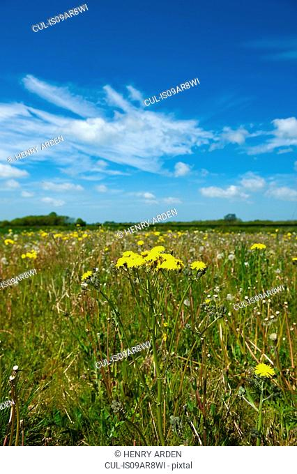 Spring field with long grass and dandelions