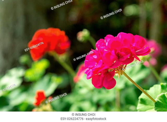 Pink Geranium in the mountains of Gangneung, South Korea. Out of focus background