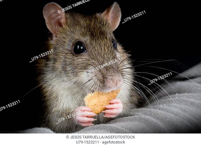 Domesticated Rat Sewer Portrait, Rattus norvegicus