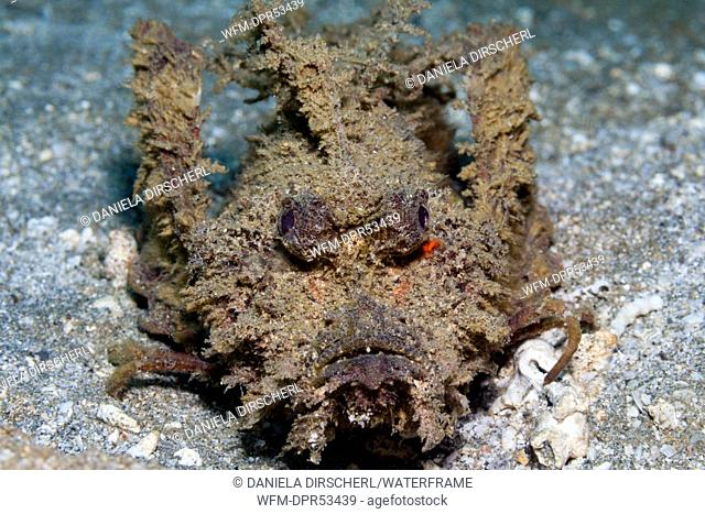 Spiny Devilfish, Inimicus didactylus, Ambon, Moluccas, Indonesia