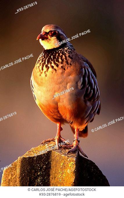 Una perdiz roja 'Alectoris rufa' macho al amanecer