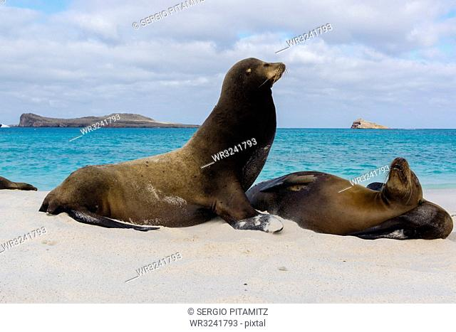 Galapagos sea lions (Zalophus californianus wollebaeki), resting on a sandy beach, Espanola Island, Galapagos Islands, UNESCO World Heritage Site, Ecuador