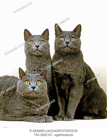 Chartreux Domestic Cat against White Background