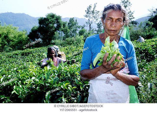 Tamil woman holding tea leaves, Ella, Sri Lanka