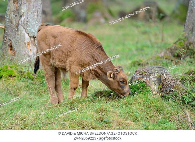 Close-up of a aurochs or ure (Bos primigenius) calf in autumn in the bavarian forest