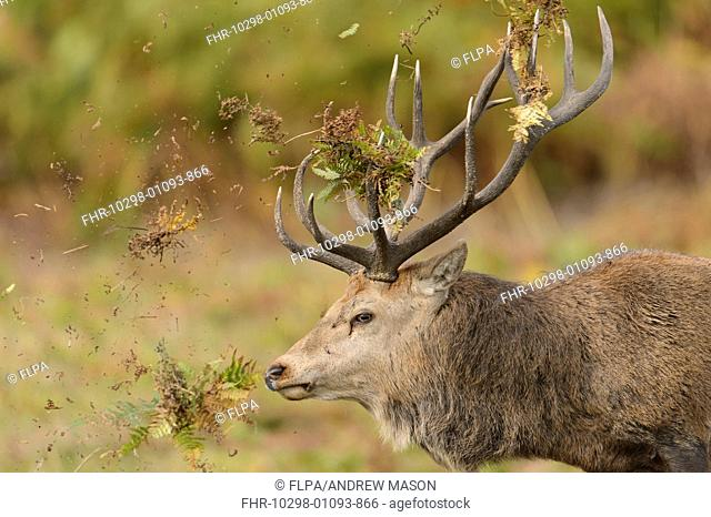Red Deer (Cervus elaphus) mature stag, close-up of head, thrashing bracken with antlers, displaying during rutting season, Bradgate Park, Leicestershire