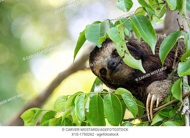 Three-toed sloth Bradypus variegatus foraging on Isla Carenero, Bocas del Toro, Panama