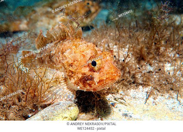 Black scorpionfish (Scorpaena porcus), Black Sea, Crimea, Ukraine, Eastern Europe