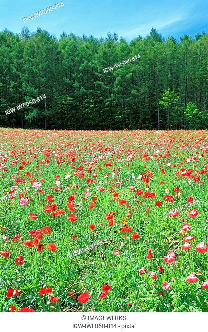 Poppy flower farm