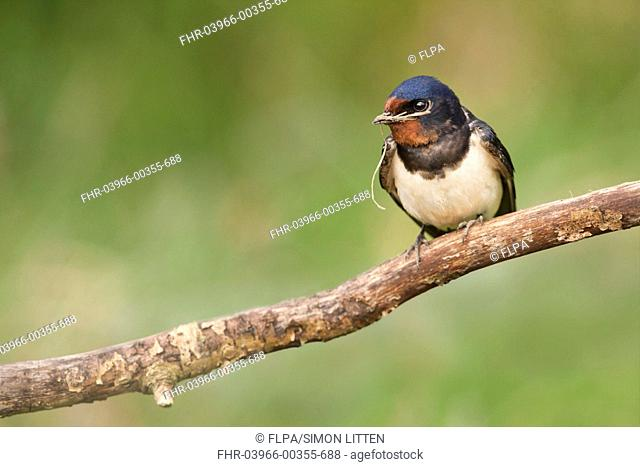 Barn Swallow Hirundo rustica adult, with nesting material in beak, perched on branch, Norfolk, England, june