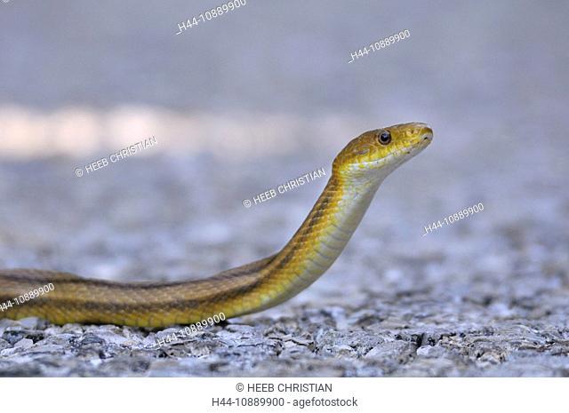 Yellow Ratsnake, snake, J. N. Ding Darling, National Wildlife Refuge