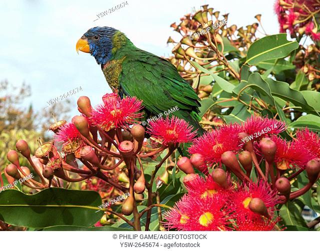 Australian native rainbow lorikeet browsing in flowering gum, Eucalyptus ficifolia, Melbourne