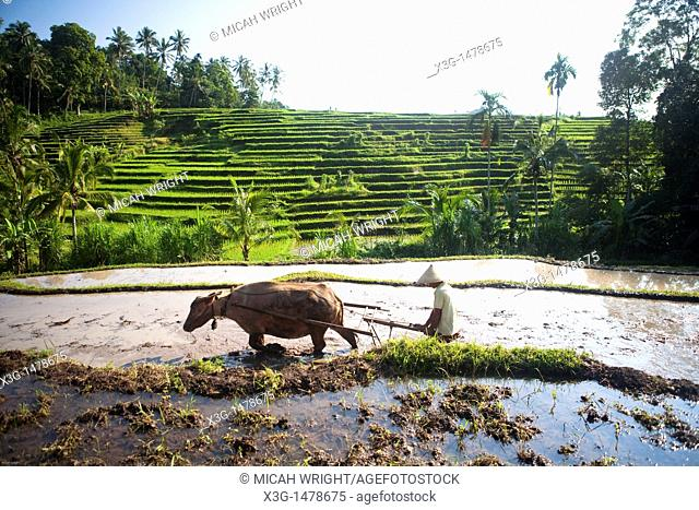 Some of the countless rice fields when traveling across Bali's interior, Indonesia