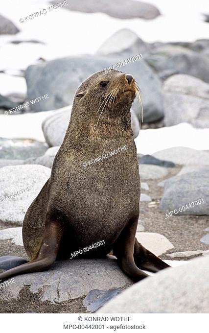Antarctic Fur Seal (Arctocephalus gazella), Half Moon Island, Antarctica