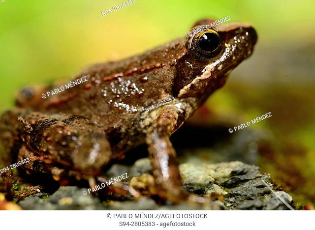 "Greek frog """"Rana graeca"""" in a pond of Svinjista, Budva, Montenegro"