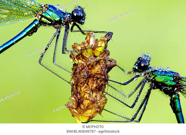banded blackwings, banded agrion, banded demoiselle Calopteryx splendens, Agrion splendens, two males covered with dew, Germany