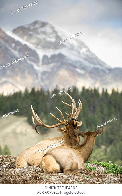 A bull & Cow Elk, Cervus canadensis nelsoni, rest upon a scenic lookout in rural alberta Alberta, Canada