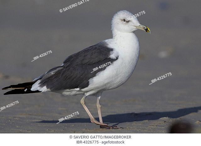 Heuglin's Gull (Larus heuglinii), Taqah, Dhofar, Oman