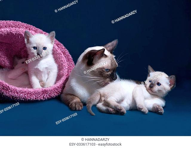 Thai cat and kittens in nest on blue background