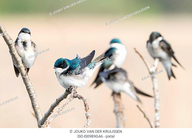 Tree Swallows (tachycineta bicolor) perched on branch, Coyote Hills Regional Park, California, United States, North America
