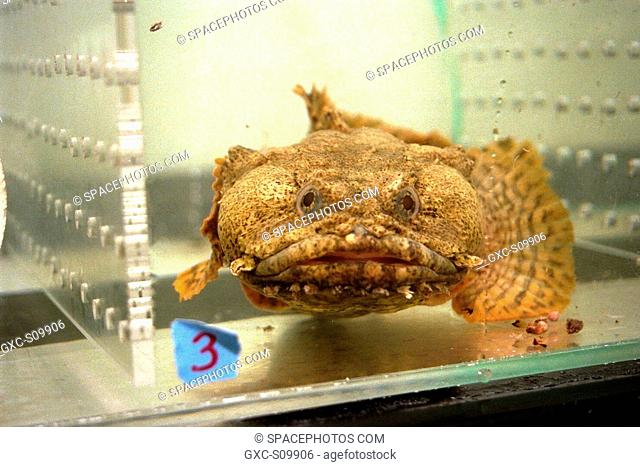 02/27/1998 --- An oyster toadfish Opsanus tau, like those that are part of the Neurolab payload on Space Shuttle Mission STS-90
