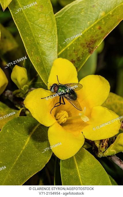 Greenbottle Fly (Lucilia sericata) on Carolina Jessamine (Gelsemium sempervirens)