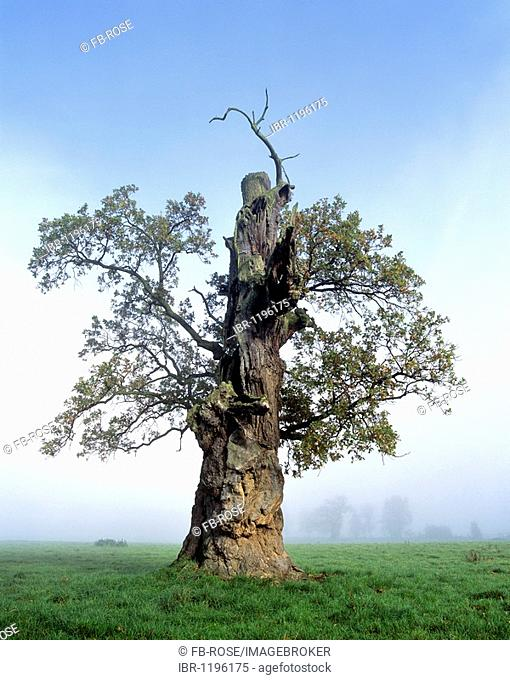 Gnarly Oak (Quercus), in morning mist, old tree trunk, Beberbeck, Hesse, Germany, Europe