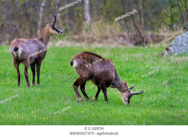 chamois (Rupicapra rupicapra), grazing, Switzerland, Grisons, Engadine